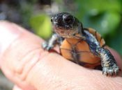 Presidio Baby Turtle Discovered in SF's Mountain Lake