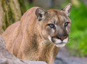 Mountain Lion Removed from Tree in SF's Bernal Heights