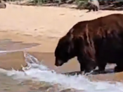 Bear Family Joins Beachgoers in South Lake Tahoe