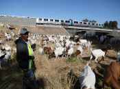 BART Uses 700 Hungry Grazing Goats to Reduce Fire Danger