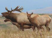 Volunteers Hike In 350 Gallons of Water to Rare Tule Elk in Pt. Reyes